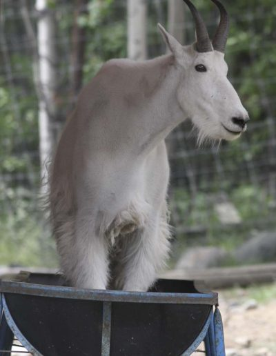 A 4 year old billy (male) mountain goat stands in a feed trough at the Yukon Wildlife Preserve.