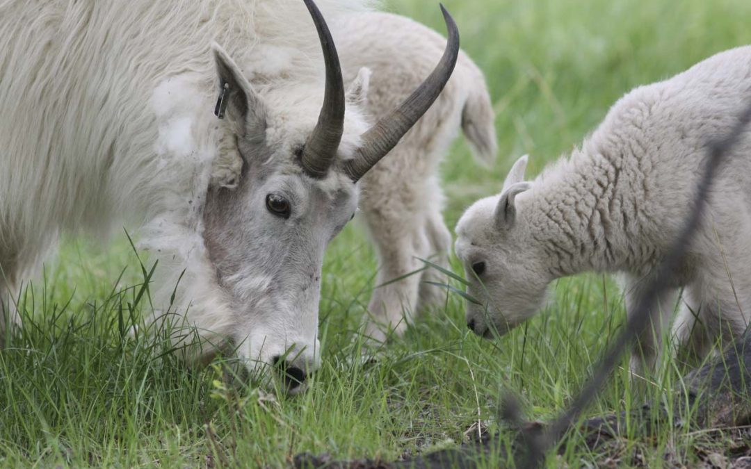 Phenology of Molt in Mountain Goats