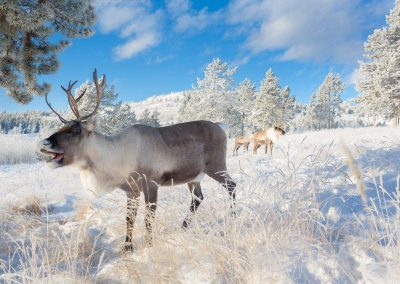 web-Caribou and Bou in snow - YWP - Jake Paleczny - Nov 2013