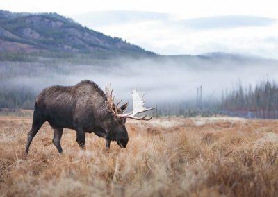 web-_MG_6490 - YWP - moose bull - Jake Paleczny