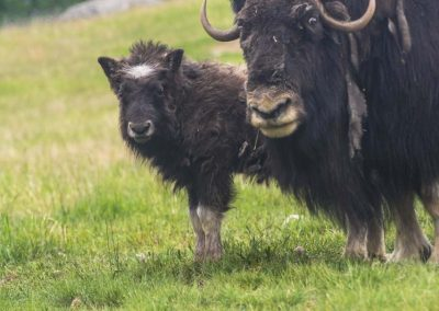Muskox females and calves