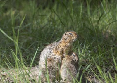 Arctic Ground Squirrel in Summer