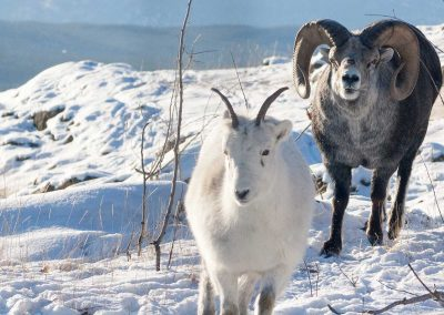 thinhorn sheep pair in snow