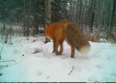 Pouncing Fox9