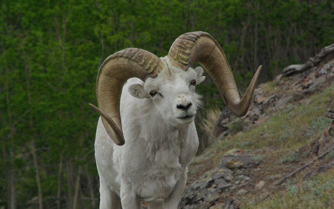 A Thinhorn Sheep's Case for Eating your Greens
