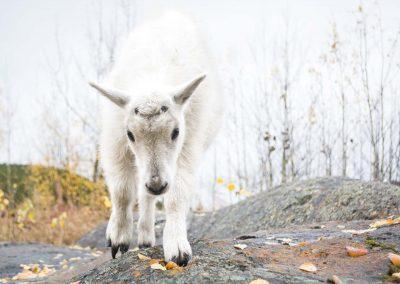 Mountain Goat hoof