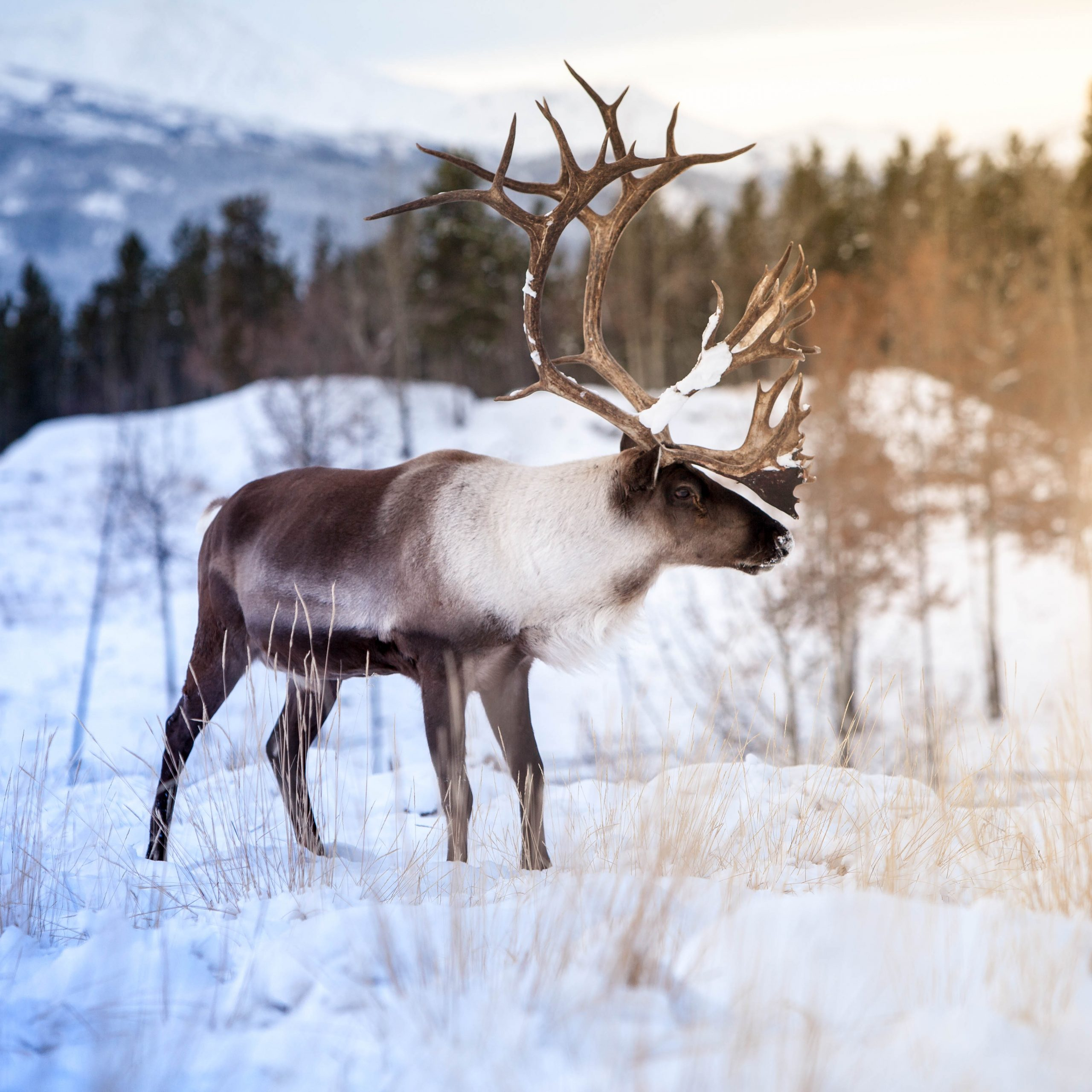 Roam And Reign Winter Is Here Caribou Edition Yukon Wildlife Preserve