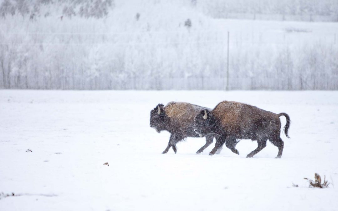 Wandering Wood Bison
