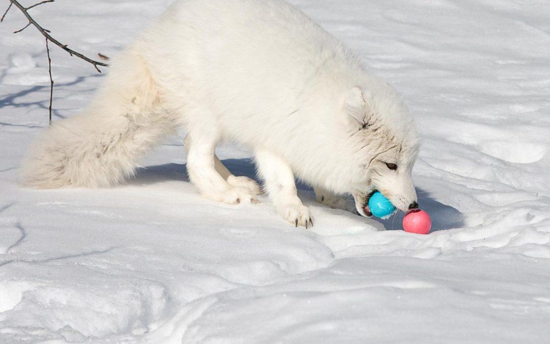 Arctic Fox Easter Treat