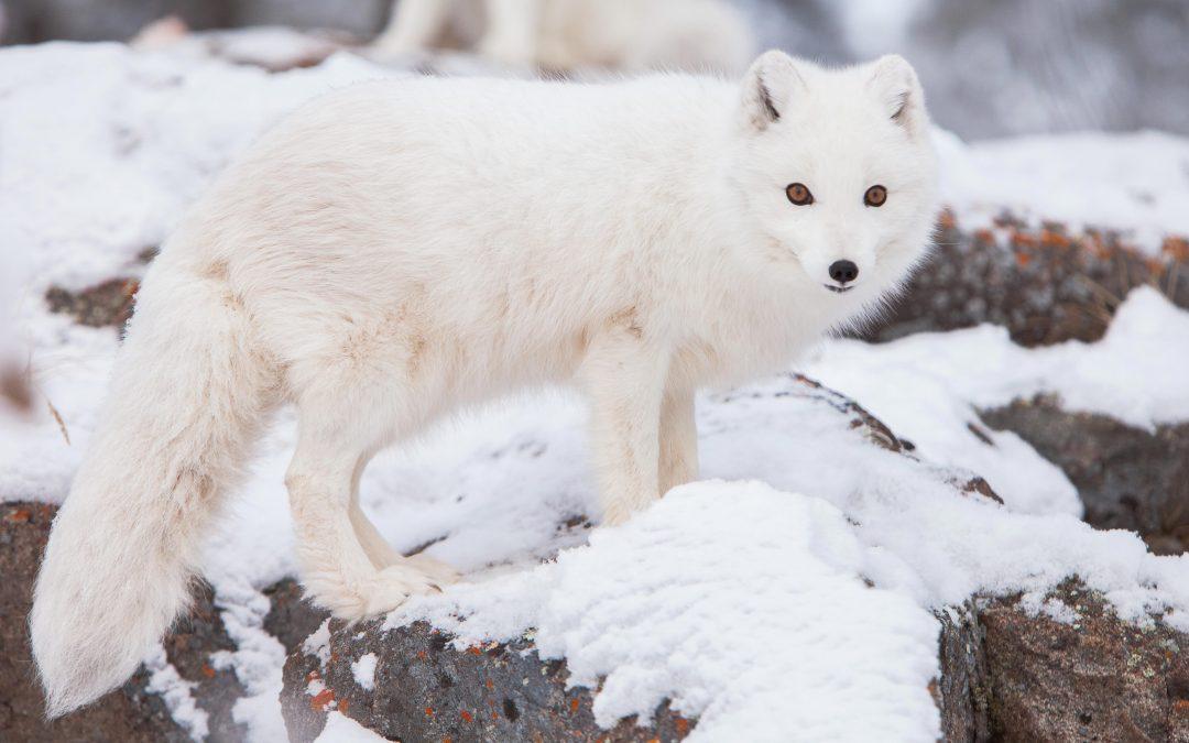 Cute But Tough – The Arctic Fox