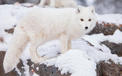 Cute But Tough – The Arctic Fox