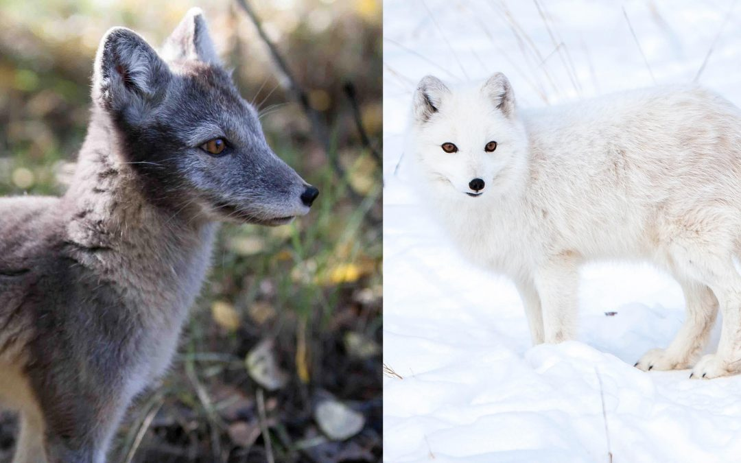 Arctic Fox Adaptations in 360 Video