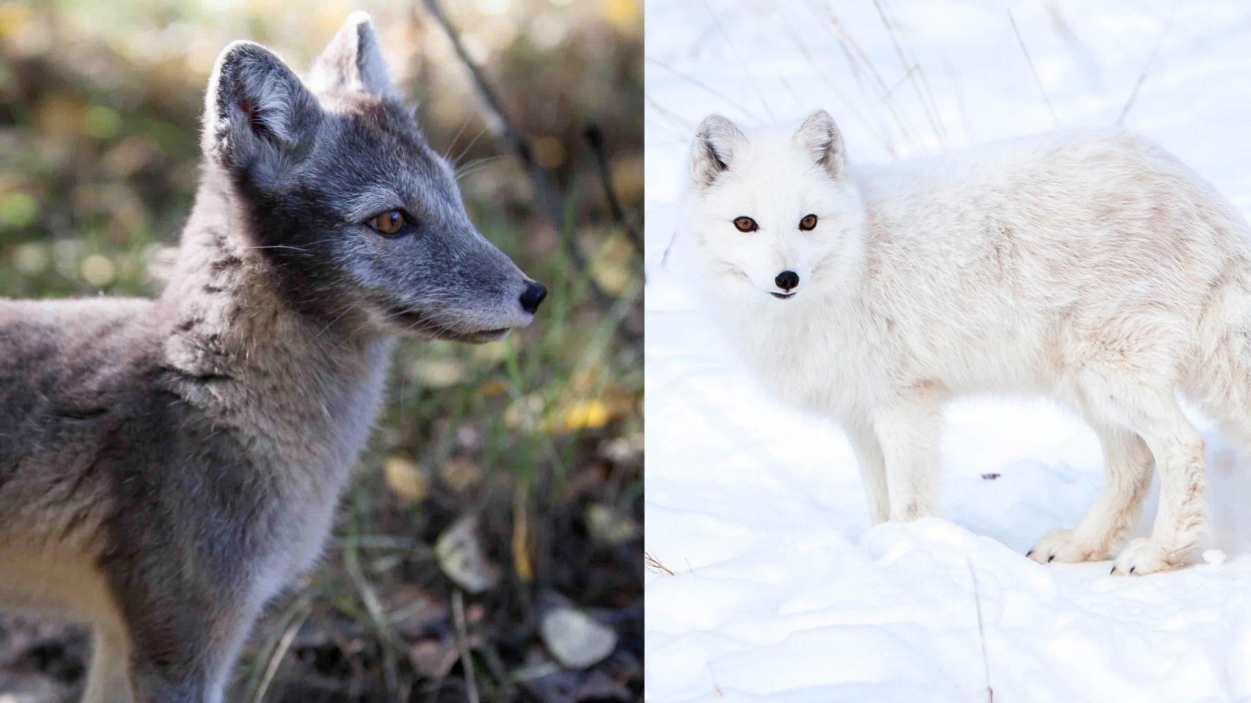 Arctic Fox Adaptations in 360 Video | Yukon Wildlife Preserve
