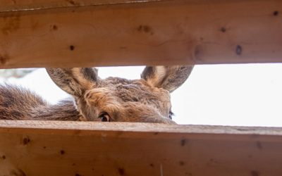 What's in the Feed Station: Moose?