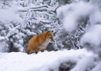 Red Fox in snow Dec 2019 YWP Lindsay Caskenette