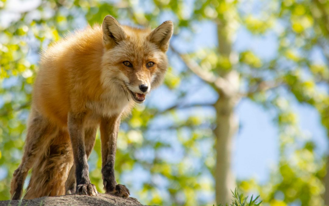 Red Fox in 360 Video
