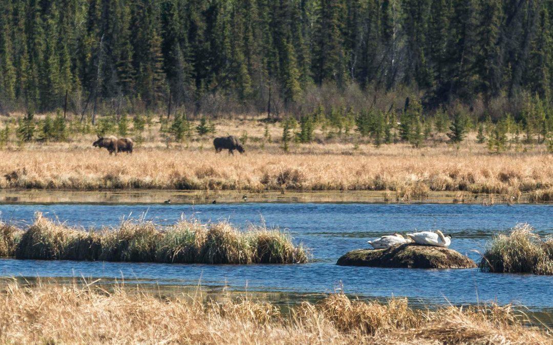 Wetlands Habitats – Yukon Wildlife Preserve