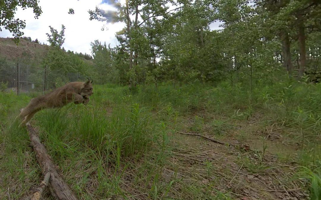 Lynx in 360 Video