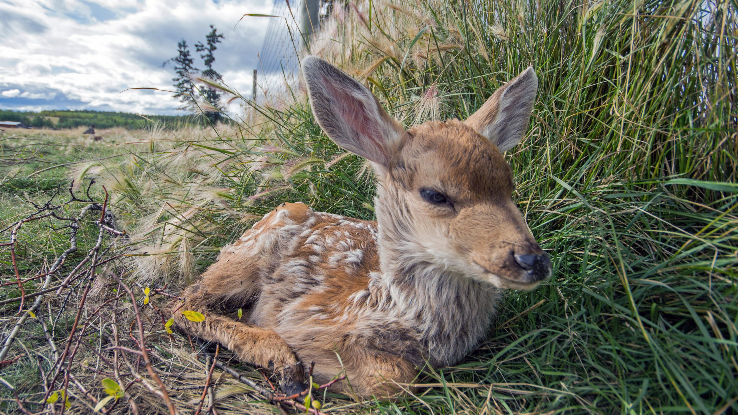 Mule deer fawn resting in the protection of long grass.