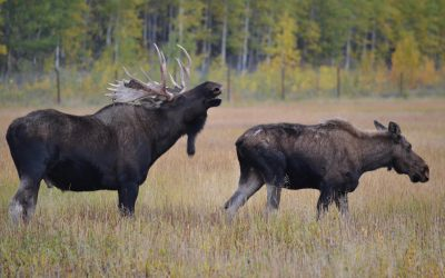 The Antler and Breeding Cycle Featuring Moose