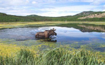 Misunderstood Moose