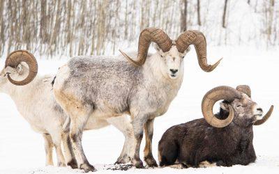 Thinhorn Mountain Sheep