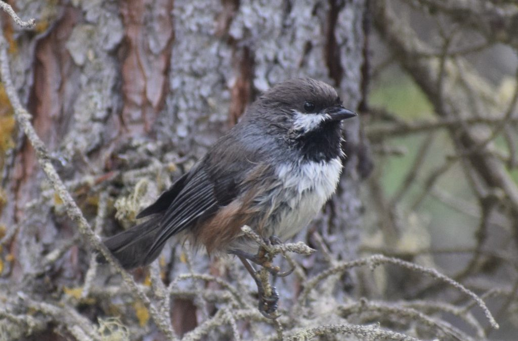 I Wish I Was as Tough as a Chickadee!