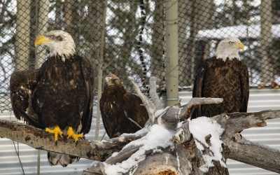 A Convocation of Eagles
