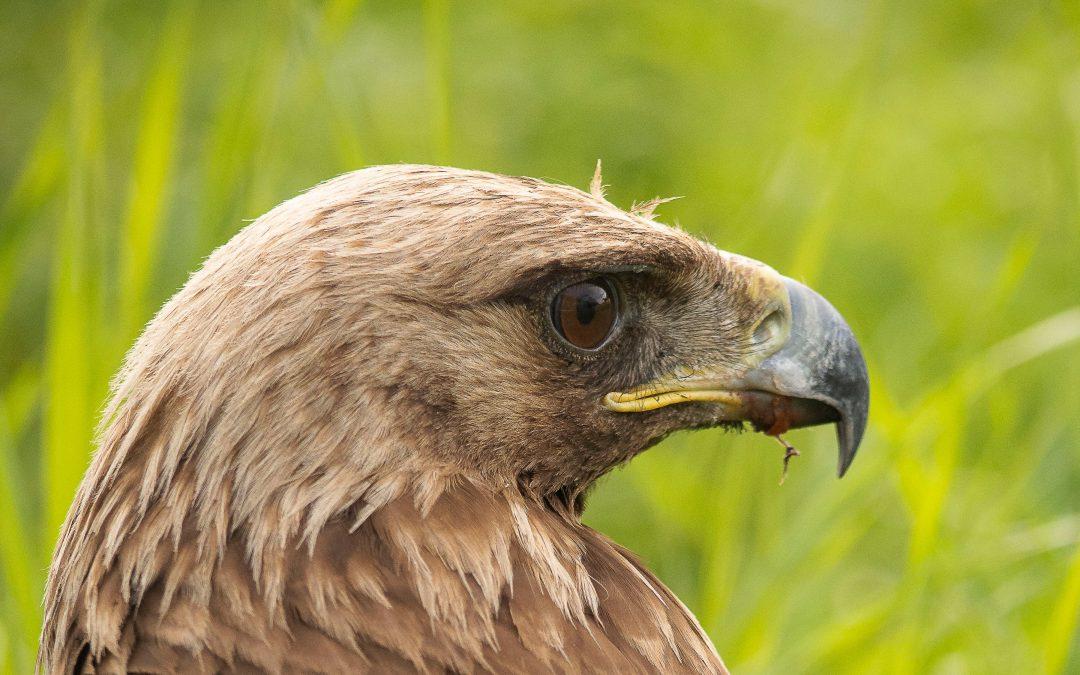 Golden Eagle:  Scapular Fracture