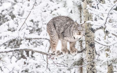 """Leaps and Bounds """"Winter is Here""""-Lynx"""