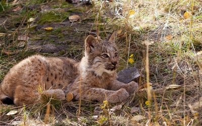 Love for the Lynx