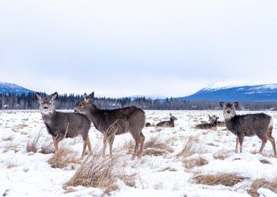 Mule Deer at the Yukon Wildlife Preserve