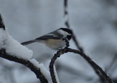 Chickadee © sydcannings, some rights reserved (CC-BY-NC)