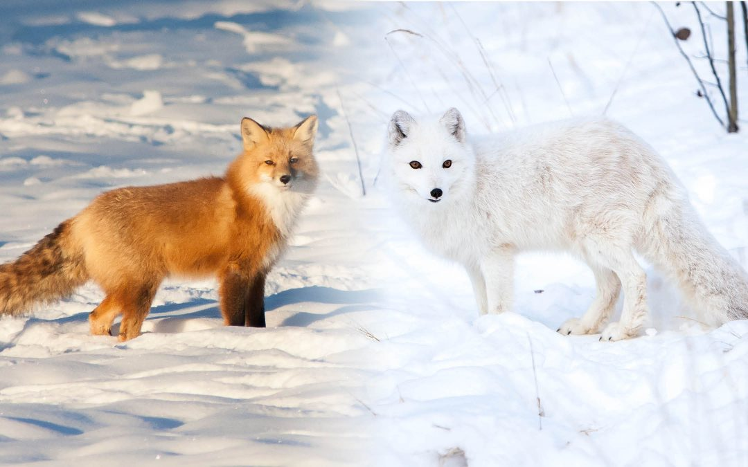 Uneasy neighbours: red foxes and arctic foxes in the north