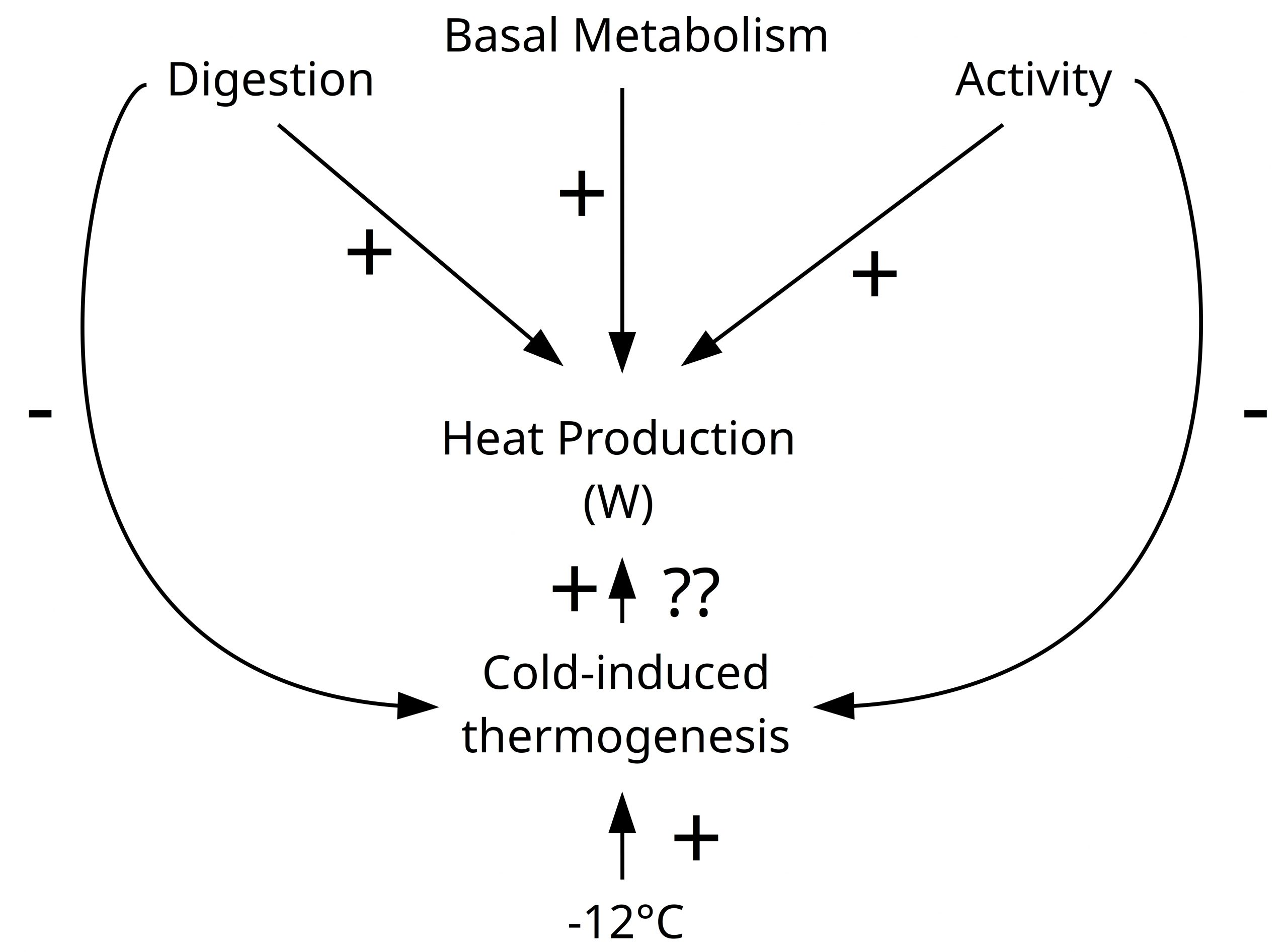 Chart showing thermogenesis (heat transfer).