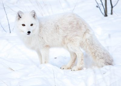 Photo of arctic fox in winter.