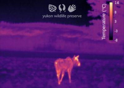 Thermal image of Moose.