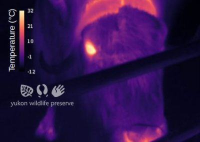 Thermal image of Muskox face