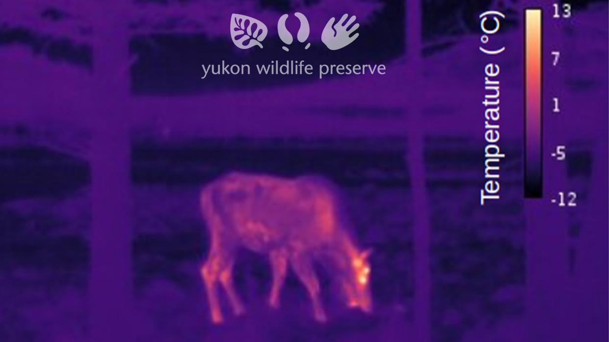 Thermal image of Moose