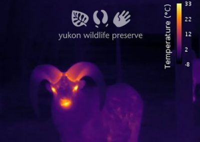 Thermal image of Thinhorn Sheep Face
