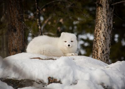 Photo of Arctic Fox in winter with tail wrapped around body.