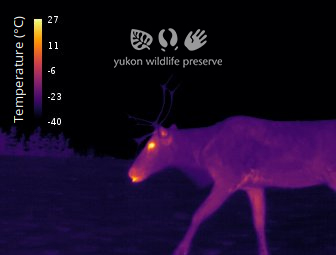 Thermal image of Caribou at 34c below 0c.