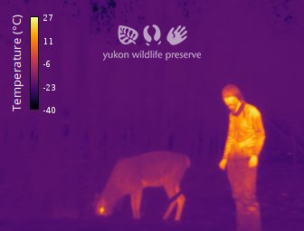 Thermal image of Jake without a coat beside a female caribou at 34c below zero.