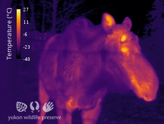 Thermal image of Moose deer at 34c below 0c.