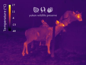 Thermal image of Mule deer at 34c below 0c.