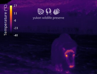 Thermal image of Muskox at 34c below 0c.