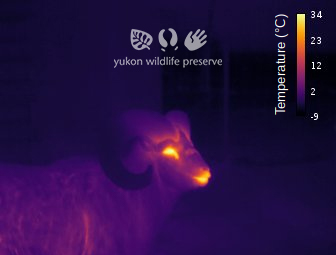 Thermal image of Thinhorn Sheep at 12c below 0c. Scale is in degrees.