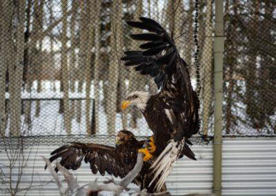 Photo of eagles in flight pen.