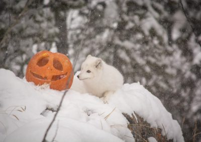 Photo of arctic fox and pumpkin in snow.