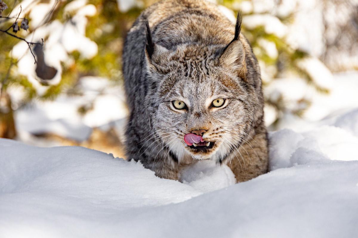 Photo of Lynx in snow